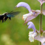 Bienen-4-Holzbiene