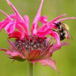 Bienen-5-Wildbiene