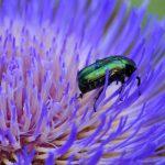 Käfer-8-Rosenkäfer