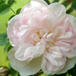 Stanwell PerpetualBibernellrose, Duft