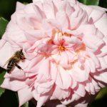 englische Rosen, Biene