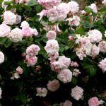 Fantin Latour. Historische Rose