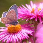 Schmetterling-1-Bläuling