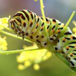 Schmetterling-10-Schwalbensvhwanzraupe.jpg