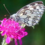 Schmetterling-12-Schachbrettfalter.j