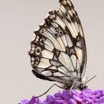 Schmetterling-13-Schachbrettfalter.