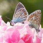 Schmetterling 2 Bläulinge