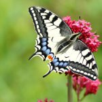 Schmetterling 9 Schwalbenschwanz