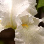 13 Iris