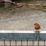 Vogel 1 Rotkehlchen